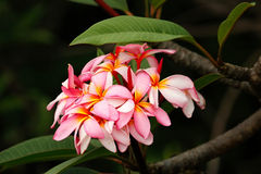 Pink plumeria flowers with water drops Royalty Free Stock Photography