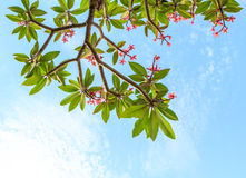 Pink plumeria frame Royalty Free Stock Images