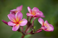 Pink Plumeria Royalty Free Stock Photography