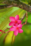 Pink Plumeria Frangipani Flower. Growing on a tree in the Bahamas royalty free stock photos