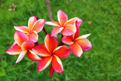 Pink Plumeria in the garden. Detail of Pink Plumeria in the garden Royalty Free Stock Image