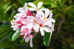 Pink plumeria. And green leaf stock photos