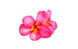 Pink plumeria isolated Stock Images