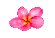 Pink plumeria isolated Royalty Free Stock Photography