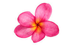 Pink plumeria isolated Royalty Free Stock Photo