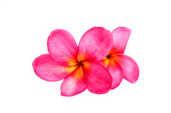 Pink plumeria isolated Stock Photography