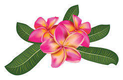 Pink plumeria with leaves Stock Photos
