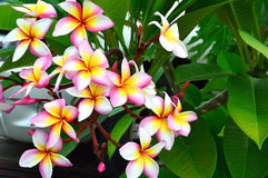 Pink plumeria. In nature background Royalty Free Stock Photos