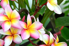 Pink plumeria. In nature background Royalty Free Stock Images