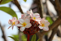 Pink plumeria. On sky background stock images