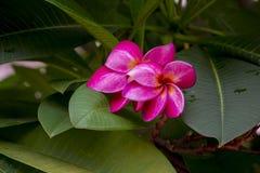 Pink plumeria. On the plumeria tree, frangipani tropical flowers with blurry background Stock Photos