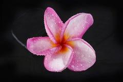 Pink plumeria Royalty Free Stock Image