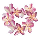 Pink plumeria wreath. Heart watercolor floral Botanical illustration. For wedding, invitation, valentines. frame love. Pink flowers wreath. Heart Botanical Royalty Free Stock Photos