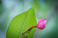 Pink plumeria Stock Photo