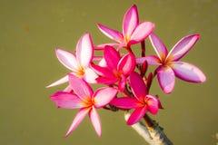 Pink plumerias Royalty Free Stock Photo