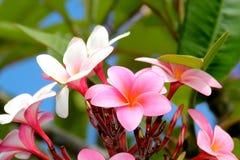 Pink Plumerias Stock Image