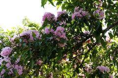 Pink podranea ricasoliana sparague Queen of sheba-vine flower