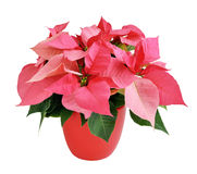 Pink poinsettia Stock Image