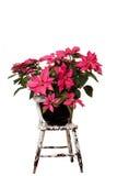 Pink Poinsettia Stock Photos