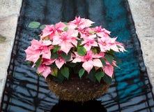Pink Poinsettia Basket Stock Image