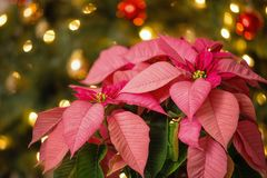 Pink Poinsettia flower, Christmas Star. Pink Poinsettia Euphorbia pulcherrima, Christmas Star flower. Festive Christmas tree background royalty free stock images