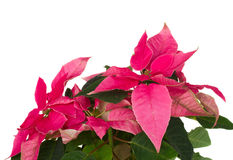 Pink poinsettia flower  close up Stock Images