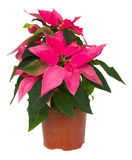 Pink poinsettia flower  in pot Royalty Free Stock Photo