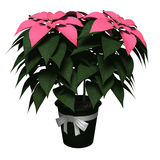 Pink Poinsettia. Royalty Free Stock Photo