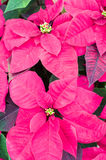 Pink poinsettia flowers in bloom Stock Photo