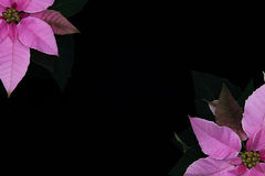 Pink Poinsettia Isolated Black Royalty Free Stock Images