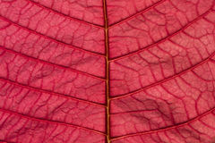 Pink Poinsettia Leaf Texture Background Pattern Royalty Free Stock Image