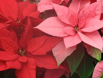 Pink Poinsettia Stock Images