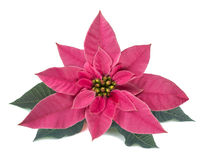 Pink poinsettia & x28;Winter rose& x29; Royalty Free Stock Photo