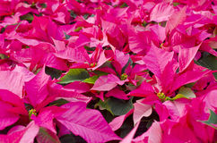Pink Poinsettias Royalty Free Stock Image