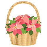 Pink poinsettias in basket Royalty Free Stock Photo
