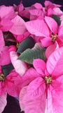 Pink Poinsettias Stock Image