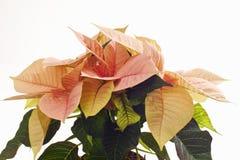 Pink poinsettie, Euphorbia pulcherrima Royalty Free Stock Photo