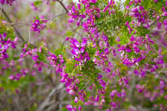 Pink polygala myrtifolia flowers Stock Image