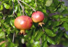 Pink pomegranates Royalty Free Stock Photography