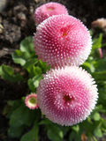 Pink pompons. Royalty Free Stock Photo