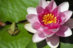 Pink pond lily and green frog Royalty Free Stock Photography