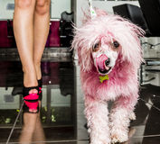 Pink poodle Royalty Free Stock Photo