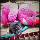 Pink Pooh. Little dog sleep with pink Pooh Stock Images