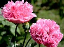 Free Pink Poppies Royalty Free Stock Photos - 150832748