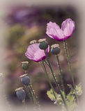 Pink poppies Royalty Free Stock Images