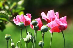 Pink poppies Stock Photography