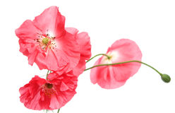 Pink poppies Stock Image
