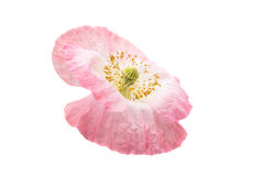 pink poppies isolated Royalty Free Stock Photo