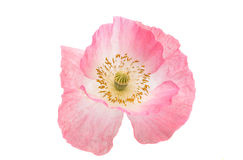 pink poppies isolated Stock Image