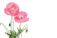 Pink poppies Royalty Free Stock Photography